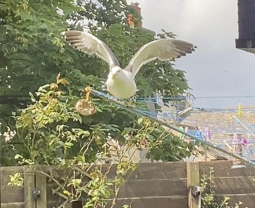 Gulsea my friendly Seagull